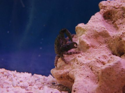 corals inverts - mithrax sculptus - emerald crab stocking in 55 gallons tank - Dark Green Emerald Crab