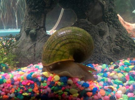 "corals inverts - pomacea canaliculata - apple snail stocking in 75 gallons tank - ""Gary"" my apple snail...my kids named him.."