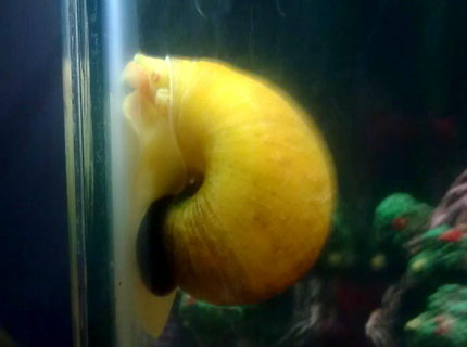 corals inverts - pomacea canaliculata - apple snail stocking in 30 gallons tank - apple snail in my freshwater tank
