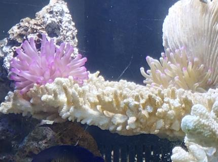 corals inverts stocking in 125 gallons tank - 2 Happy Nems
