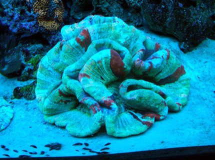 corals inverts - trachyphyllia radiata - brain coral, wellsophyllia stocking in 160 gallons tank - Large Open Brain under actinics