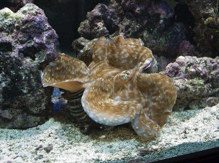 corals inverts - tridacna maxima - gold maxima clam stocking in 190 gallons tank - Gold Maxima Clam