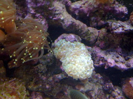 corals inverts - euphyllia glabrescens - torch coral stocking in 120 gallons tank - pearl 3 heads