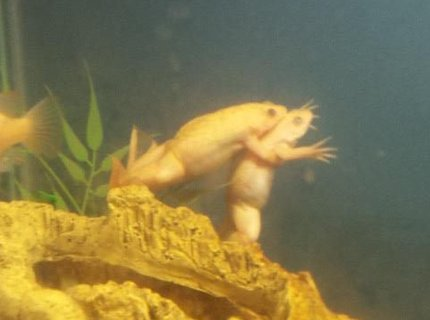 corals inverts - xenopus laevis - african clawed frog stocking in 29 gallons tank - my albino african clawed frogs