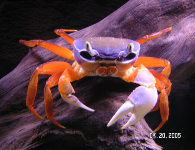 corals inverts - uca pugnax - fiddler crab stocking in 55 gallons tank - This freshwater crab didn't really fit in a category. I bought it as a Patriot Crab, but I'm sure that's not the real name.