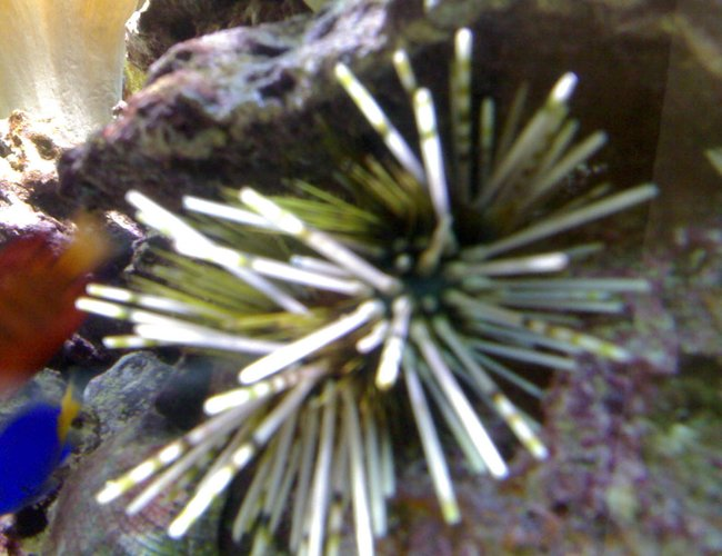 corals inverts - echinothrix calamari - longspine urchin, banded stocking in 132 gallons tank - my aquarium4