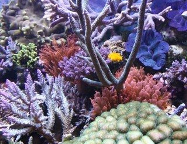 corals inverts - gorgonia sp. - rusty gorgonian stocking in 220 gallons tank - corals