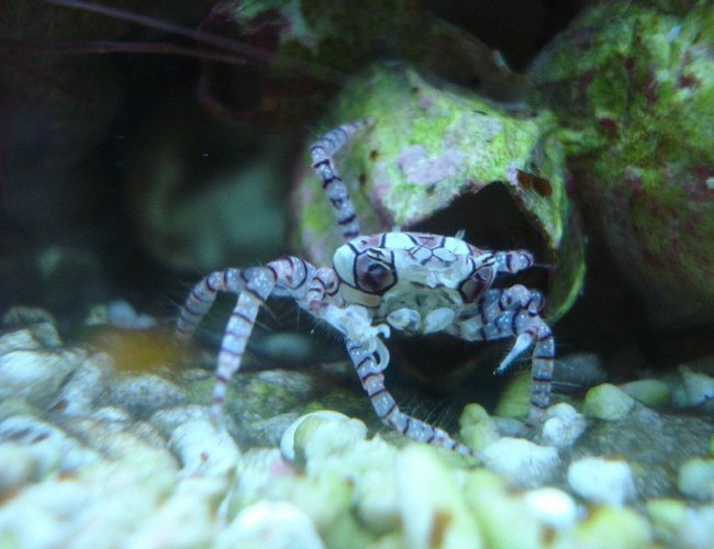 corals inverts - lybia sp. - pom pom crab stocking in 65 gallons tank - Pom Pom Crab