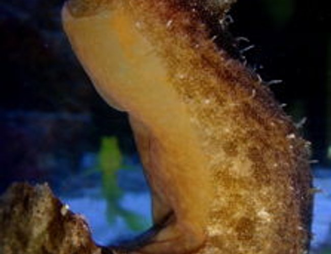 corals inverts - aplysia sp. - sea hare stocking in 55 gallons tank - sea hare