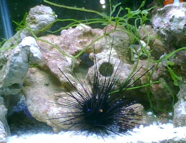 corals inverts - diadema setosum - longspine urchin, black stocking in 55 gallons tank - My Urchin, feeding off of my homemade liverock