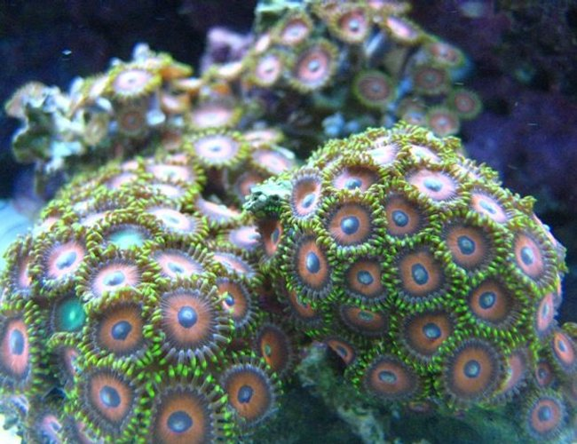 corals inverts - zoanthus sp. - eagle eye zoanthids stocking in 46 gallons tank - Eagle Eye Zoanthids