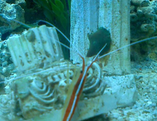 corals inverts - lysmata amboinensis - scarlet skunk cleaner shrimp stocking in 50 gallons tank - cleaner shrimp
