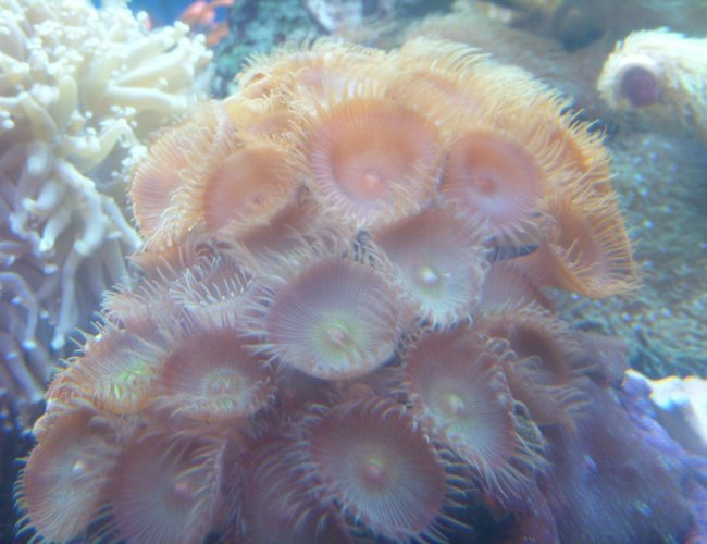 corals inverts - protopalythoa sp. - button polyp stocking in 150 gallons tank - green and orange paly's
