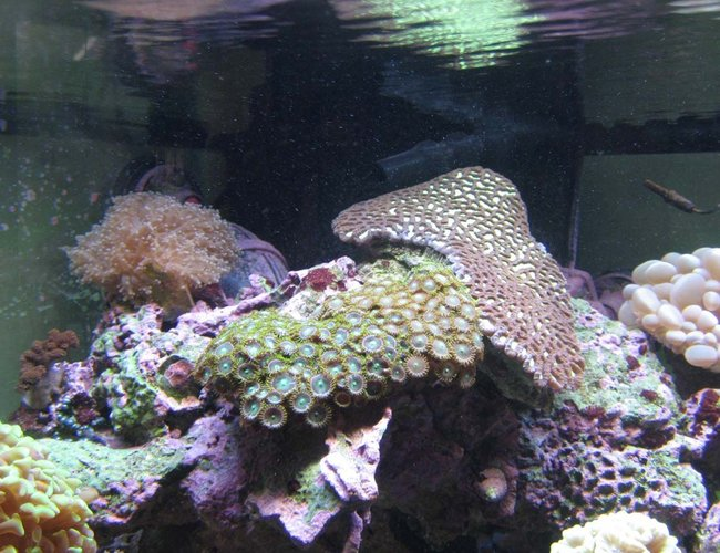 corals inverts - platygyra sp. - brain worm platygyra coral stocking in 92 gallons tank - Playtgyra, frog spawn and Zoas