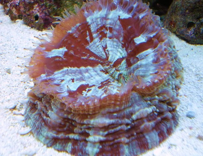 corals inverts - acanthophyllia deshayesiana - doughnut coral stocking in 55 gallons tank - doughnut coral