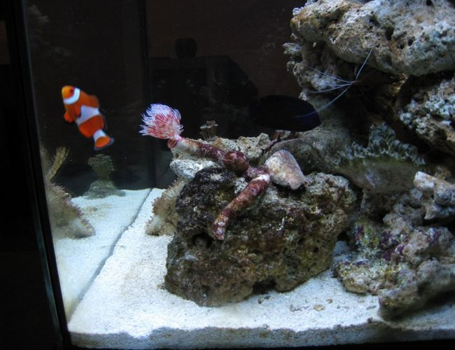 corals inverts - protula bispiralis - hard tube coco worm stocking in 35 gallons tank - I heart clown fish