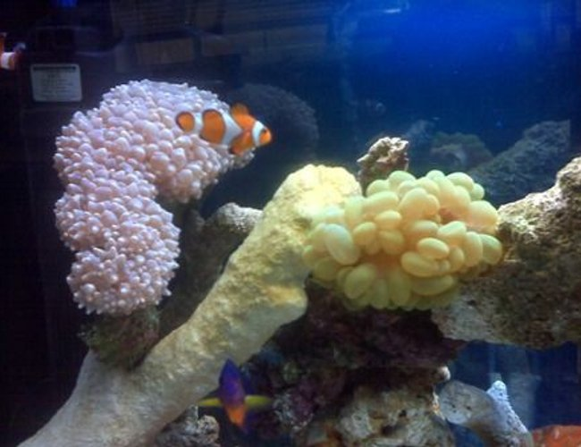 corals inverts - physogyra sp. - bubble coral stocking in 40 gallons tank - bubble coral & nemo =)
