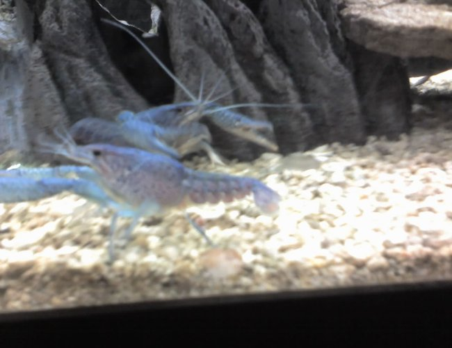 corals inverts - procambarus alleni - electric blue crayfish stocking in 5 gallons tank - elacric blue crawfish