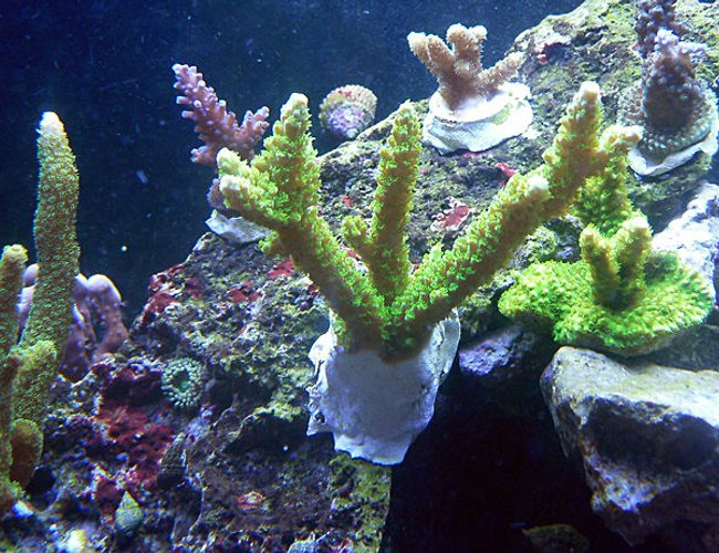 corals inverts - acropora yongei - bali green slimer stocking in 72 gallons tank - 2