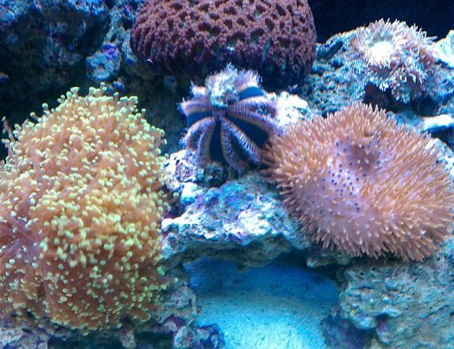 corals inverts - mespilia globulus - blue tuxedo urchin stocking in 65 gallons tank - TUXEDO URCHIN