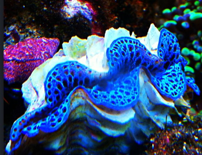 corals inverts - tridacna maxima - maxima clam, blue stocking in 29 gallons tank - T Maxima Clam