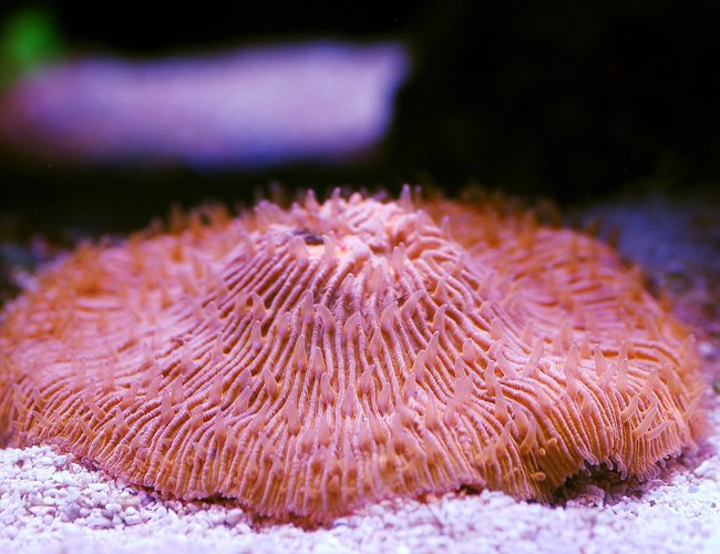 corals inverts - fungia sp. - plate coral, orange - short tentacle stocking in 105 gallons tank - Plate