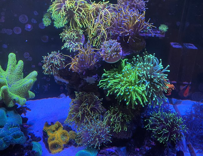 corals inverts stocking in 165 gallons tank - Fire