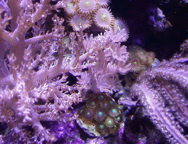 corals inverts - pterogorgia citrina - green lace gorgonian stocking in 20 gallons tank - XENIA, PPE, BLADE GORGONIAN PURPLE, ZOOS, KENYA TREE IN CENTER OF 20 EXTRA HIGH REEF