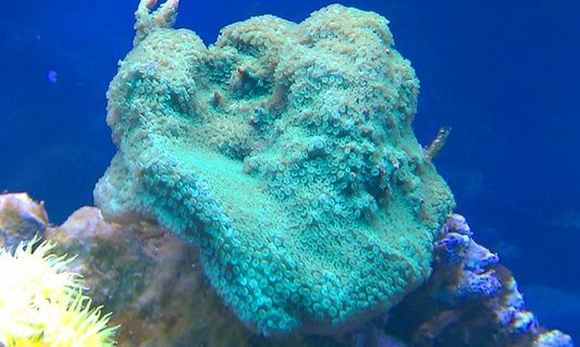 Rated #5: Corals Inverts - Montipora Capricornis - Green Apple Cap Coral Stocking In 72 Gallons Tank - Montipora