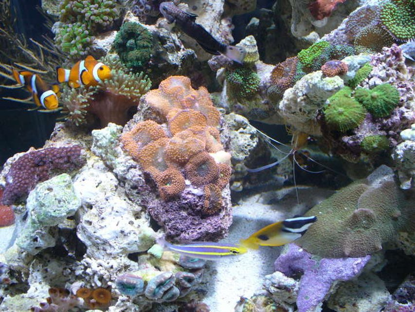 Rated #43: Corals Inverts - Ricordea Yuma - Flower / Ricordea Mushroom, Green Stocking In 45 Gallons Tank - clowns ,anemone ,ricordea