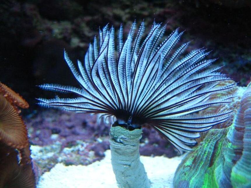 Rated #2: Corals Inverts - Sabellastarte Magnifica - Magnificent Feather Duster Stocking In 46 Gallons Tank - Black & White Feather Duster