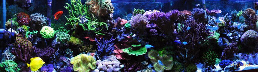 Rated #8: Corals Inverts - Sarcophyton Elegans - Yellow Fiji Leather Coral Stocking In 125 Gallons Tank - Full Reef 6 years old
