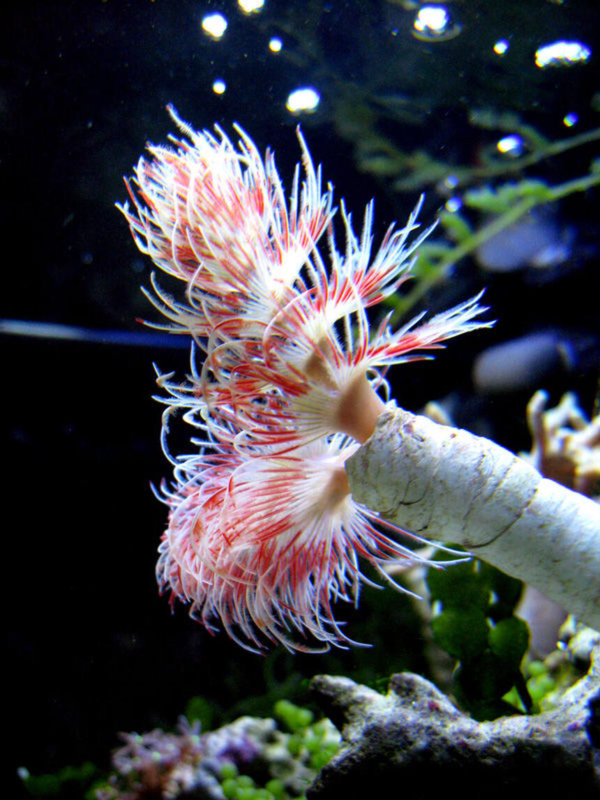Rated #4: Corals Inverts - Protula Bispiralis - Hard Tube Coco Worm Stocking In 29 Gallons Tank - Beautiful coco worm