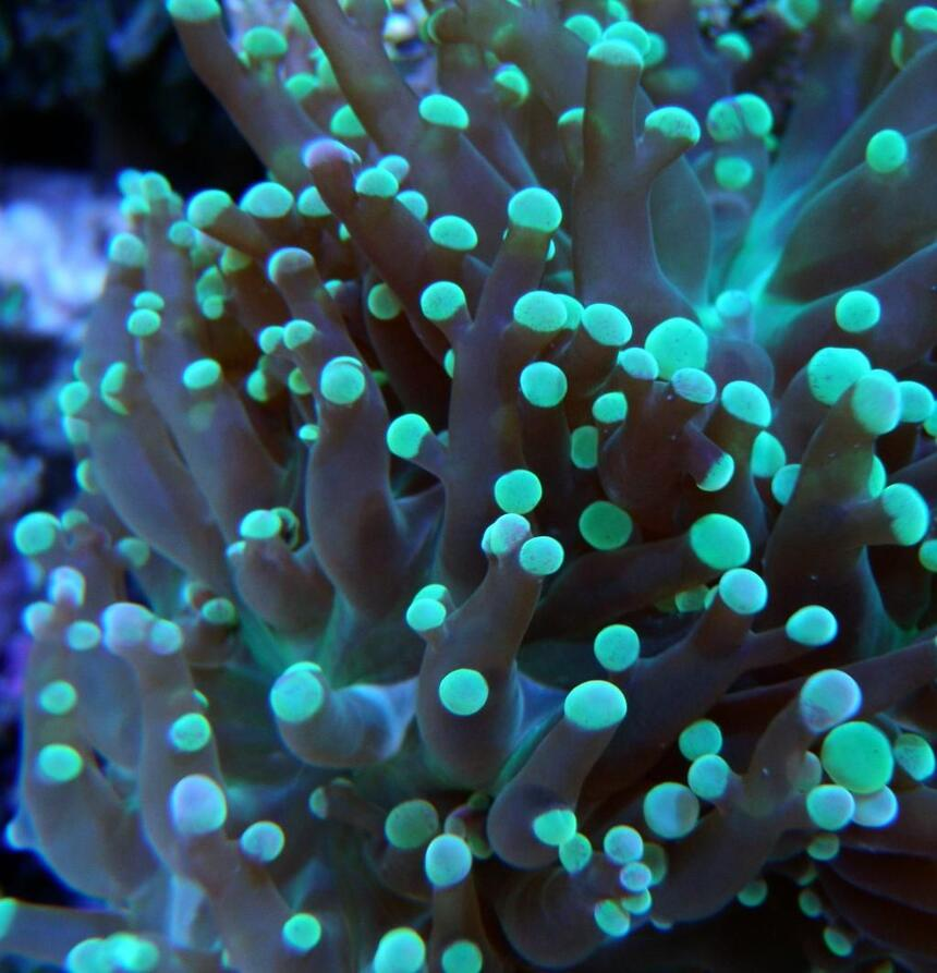 Rated #7: Corals Inverts - Euphyllia Paradivisa - Frogspawn Coral - Branched Stocking In 60 Gallons Tank - Frog Spawn