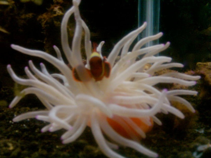 Rated #11: Corals Inverts - Condylactis Gigantea - Condy Anemone Stocking In 40 Gallons Tank - maroon clown