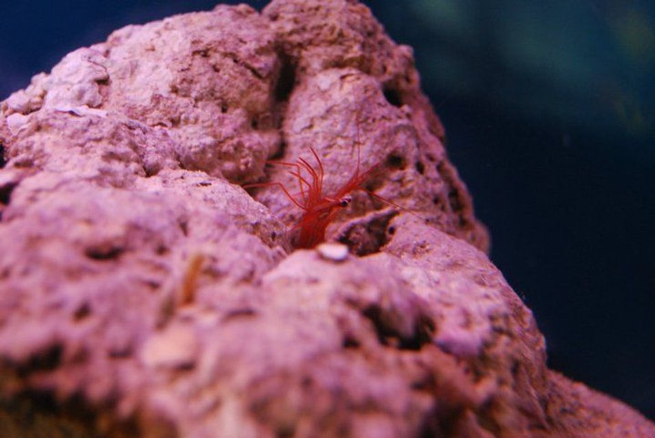 Rated #3: Corals Inverts - Lysmata Wurdemanni - Peppermint Shrimp Stocking In 55 Gallons Tank - Peppermint Shrimp