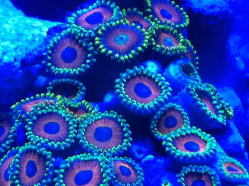Rated #1: Corals Inverts - Zoanthus Sp. - Colony Polyp, Eagle Eye Stocking In 30 Gallons Tank - Zoanthids