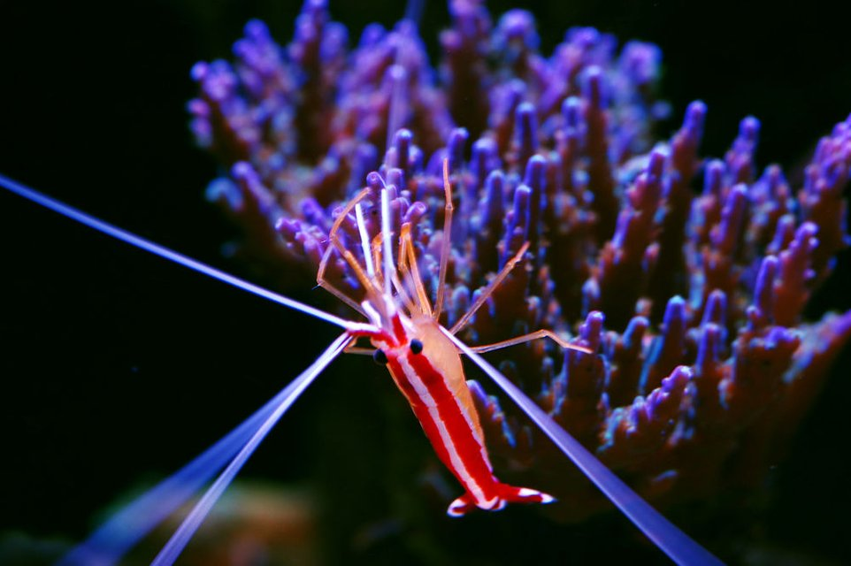 Rated #2: Corals Inverts - Lysmata Amboinensis - Scarlet Skunk Cleaner Shrimp Stocking In 105 Gallons Tank - My Scarlet Cleaner