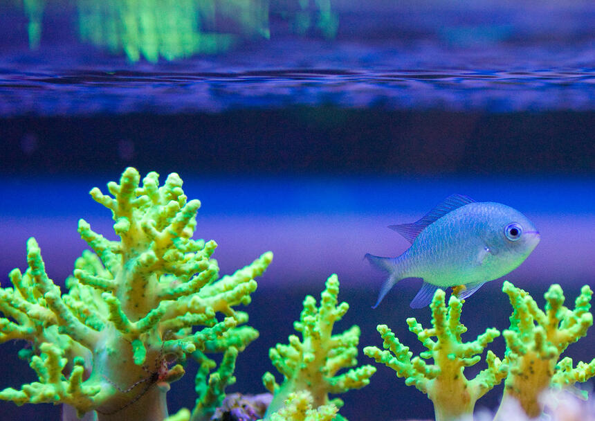 Rated #6: Corals Inverts Stocking In 52 Gallons Tank - This my Green Chromis Damsel