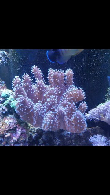 Rated #3: Corals Inverts Stocking In 90 Gallons Tank - Finger leather