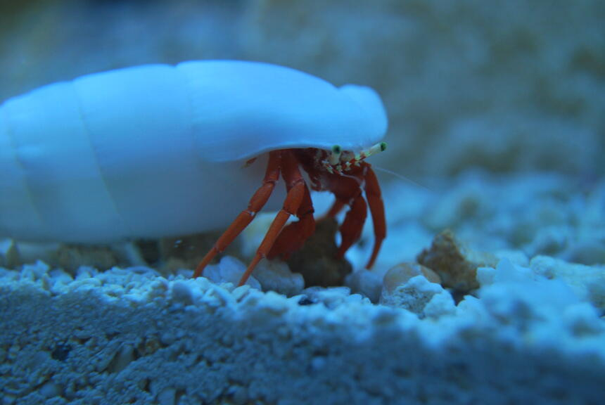 Rated #1: Corals Inverts Stocking In 90 Gallons Tank - Redlegged Hermit