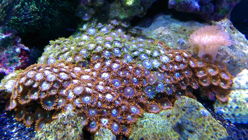 Rated #2: Corals Inverts Stocking In 75 Gallons Tank - fire and ice zoas and a similar looking colony of green and blue... not sure what they are called