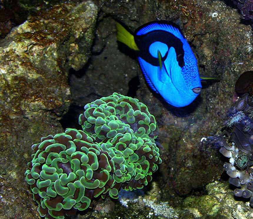 Rated #4: Corals Inverts - Euphyllia Ancora - Hammer / Anchor Coral Stocking In 170 Gallons Tank - A vivid Blue Tang next to an Anchor Coral.