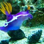 corals inverts - risbecia apolegma - purple and yellow nudibranch