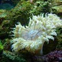 corals inverts - epicystis crucifer - rock flower anemone stocking in 46 gallons tank - Rock flower