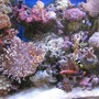 corals inverts - macrodactyla doreensis - long tentacle anemone stocking in 225 gallons tank - Colorful Reef