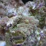 corals inverts - ricordea florida - ricordea mushroom stocking in 20 gallons tank - new