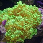 corals inverts - euphyllia paradivisa - frogspawn coral stocking in 280 gallons tank - Neon Green Softie