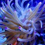 corals inverts - condylactis gigantea - condy anemone stocking in 46 gallons tank - Purple Tip Anemone