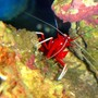 corals inverts - lysmata debelius - blood red fire shrimp stocking in 46 gallons tank - Clifford the Big Red Shrimp (Fire Shrimp)